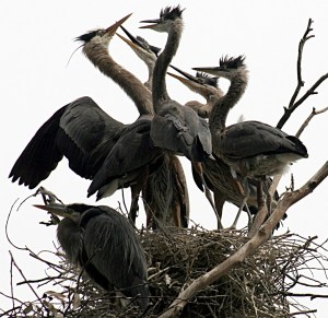 Ardea_herodias_at_the_nest