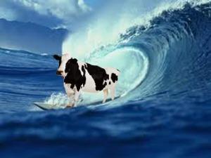 big cow on board