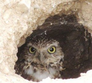 burrowing owl in home