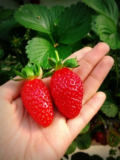 hand strawberries
