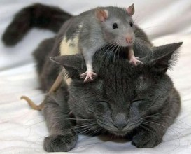 mouse-on-cat-head