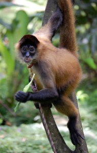 Panama_spider_monkey,_Costa_Rica