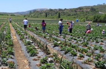 Tanaka-Farms strawberries fields