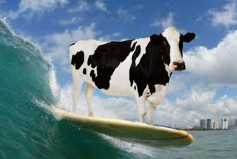 cow hang four surfing
