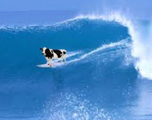 cow surfing