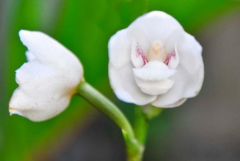 Dove Orchid Or Holy Ghost Orchid (Peristeria Elata)