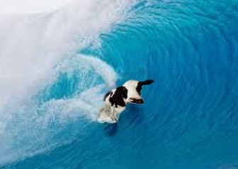 happy cow surfing