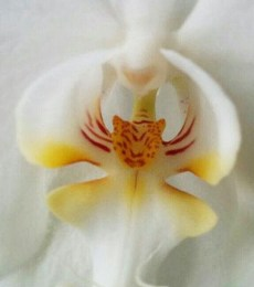 orchid that looks remarkably like a tiger