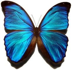 531px-Blue_morpho_butterfly