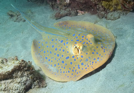 Blue-spotted-fantail-ray