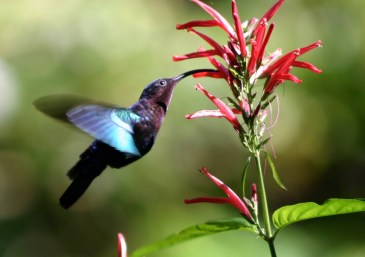 Purple-throated_carib_hummingbird_feeding