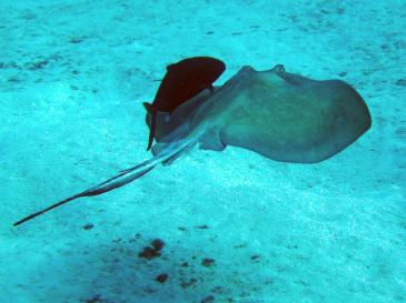 Southern_stingray_with_fish