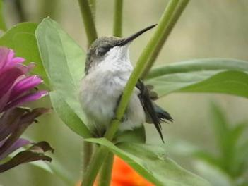 hummingbird resting in plant