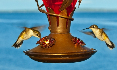 Hummingbirds_at_feeder