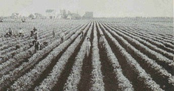 Wintersburg early 1900s celery fields