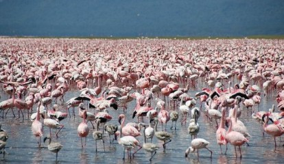 flamingos wading in water