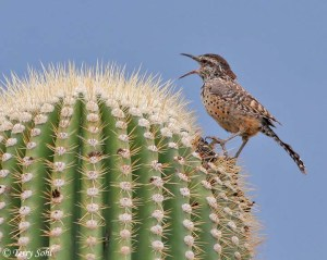 Cactus Wren -- Tahana Chule Park, Tuscon, Arizona -- September 12th, 2006