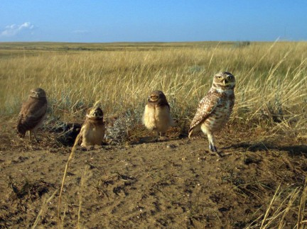 group of owls foraging