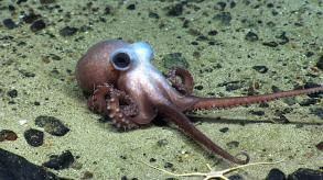 physaliaseamount_octopus