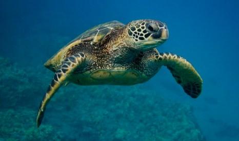 Green Sea Turtle. Chelonia mydas. Maui, Hawaii, USA.