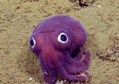 purple-squid